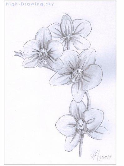 pin dessin fleur orchidee orchis tridentatajpg dessins fleurs orchidees on pinterest. Black Bedroom Furniture Sets. Home Design Ideas